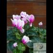 Perzsa ciklámen (Cyclamen persicum)