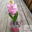 Kerti Jácint (Hyacinthus orientalis)
