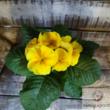 Szobai kankalin (Primula obconica)