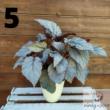 Királybegónia (Begonia Rex)