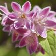 Gyöngyvirágcserje (Deutzia scabra)