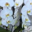 "Lepkeorchidea ""Cascade""2 szálas (Phalaenopsis Cascade)"