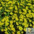 Tömpevirág (Sanvitalia)