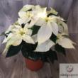 Mikulásvirág (Euphorbia pulcherrima) több színben és méretben