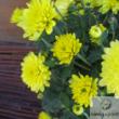 Krizantém (Chrysanthemum)