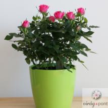 Mini rózsa (Rosa)