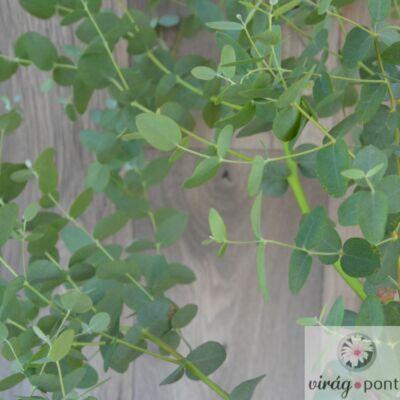 Havasi Eukaliptusz (Eucalyptus gunnii)