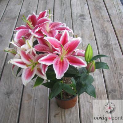 Ázsiai Liliom (Lilium Asiatic hibridek)