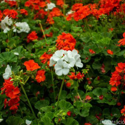 Álló muskátli (Pelargonium x hortorum)
