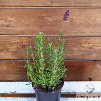 Közönséges levendula (Lavandula angustifolia)