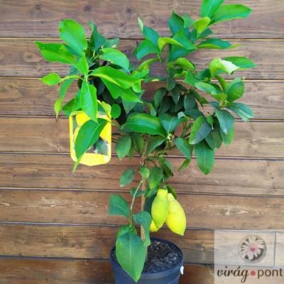 Citromfa (Citrus x limon)