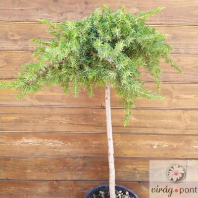 Oszlopos boróka (Juniperus)