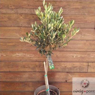 Olajbogyó fa (Olea europaea)