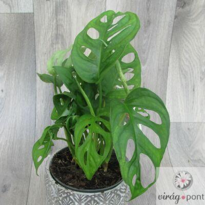 Monstera Monkey leaf