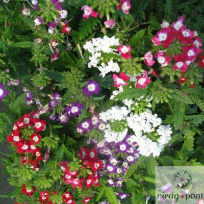 Kert Verbéna (Verbena x hybrida)