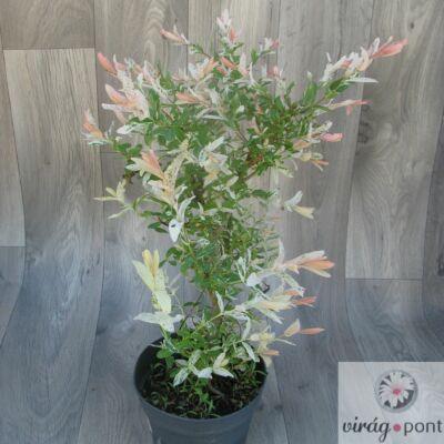 Tarka levelű Japánfűz (Salix integra 'Hakuro 'Nishiki')