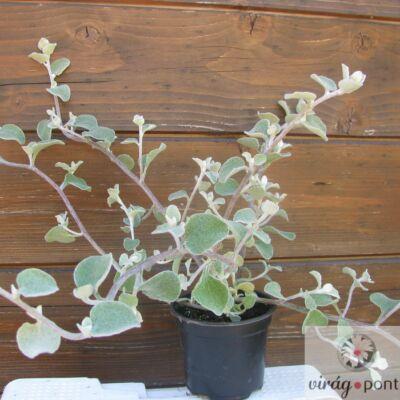 Kereklevelű Szalmagyopár (Helichrysum petiolare)