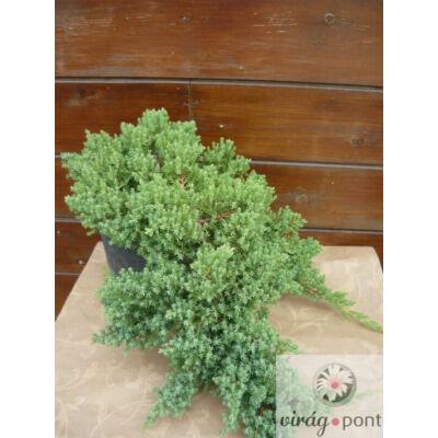Törpe kúszó boróka (Juniperus procumbens 'Nana')