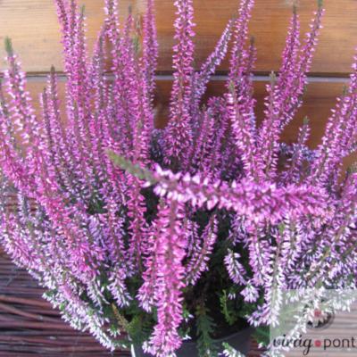 Közönséges Csarab lilás (Calluna vulgaris)