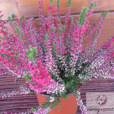Közönséges Csarab rózsaszín  (Calluna vulgaris)