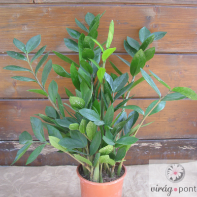 Agglegénypálma (Zamioculcas zamiifolia)