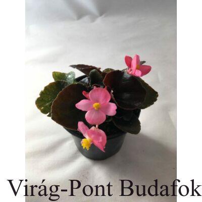 Kerti begónia  (Begonia semperflorens)