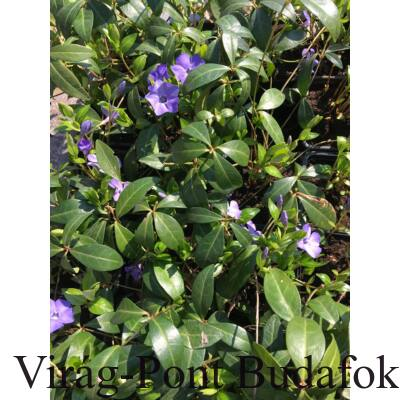 Kis meténg (Vinca minor )