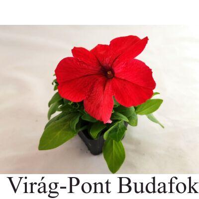 Petúnia (Petunia x atkinsiana)
