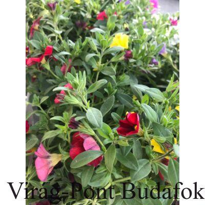 Kisvirágú futó petúnia (Petunia)
